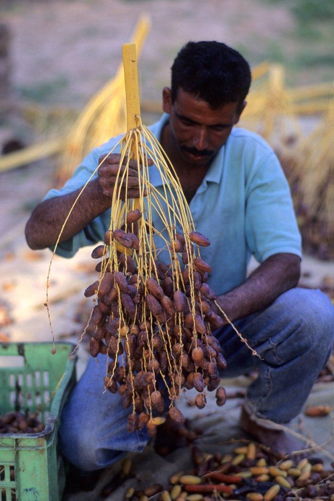 Stock Photo: 1606-63270 Tunisia, Kebili Governorate, palm grove of Nefzaoua, near Douz, dates harvesting