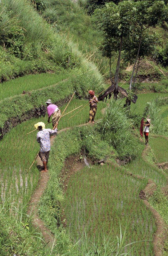Paysans travaillant dans une riziére a Bali : Stock Photo