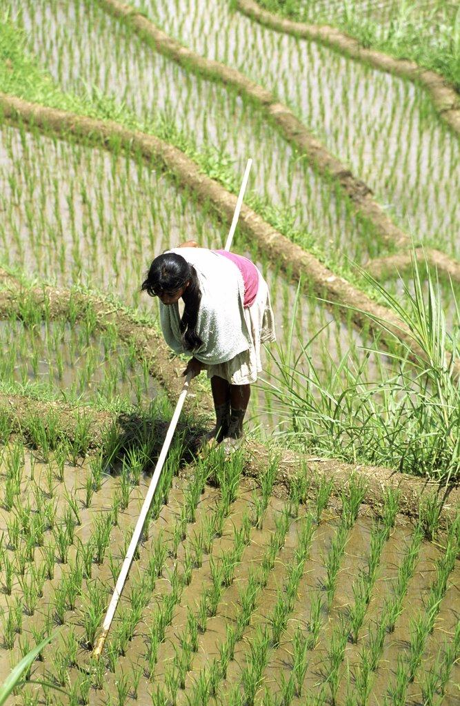 paysanne travaillant dans une riziére : Stock Photo