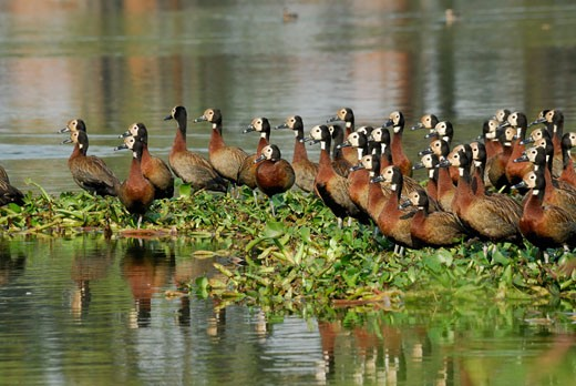 Stock Photo: 1606-67748 White-faces Whistling ducks (Dendrocygna viduata), lake Tsarasaotra, Antananarivo, Madagascar