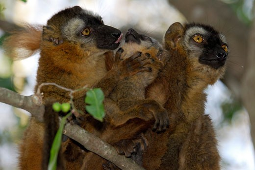 Stock Photo: 1606-67780 Two females hybrid lemurs (Eulemur fulvus collaris - Eulemur fulvus rufus) around a baby, dried forest in the reservation of Berenty, south Madagascar