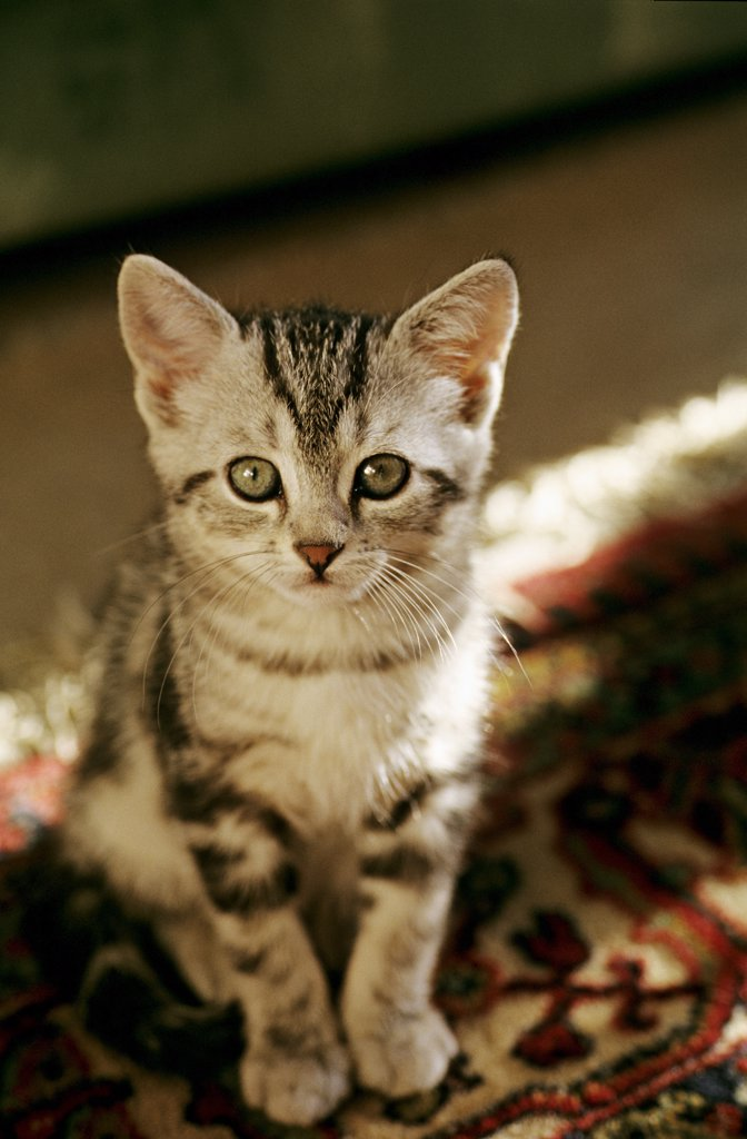 Striped grey kitty sitting on a carpet : Stock Photo