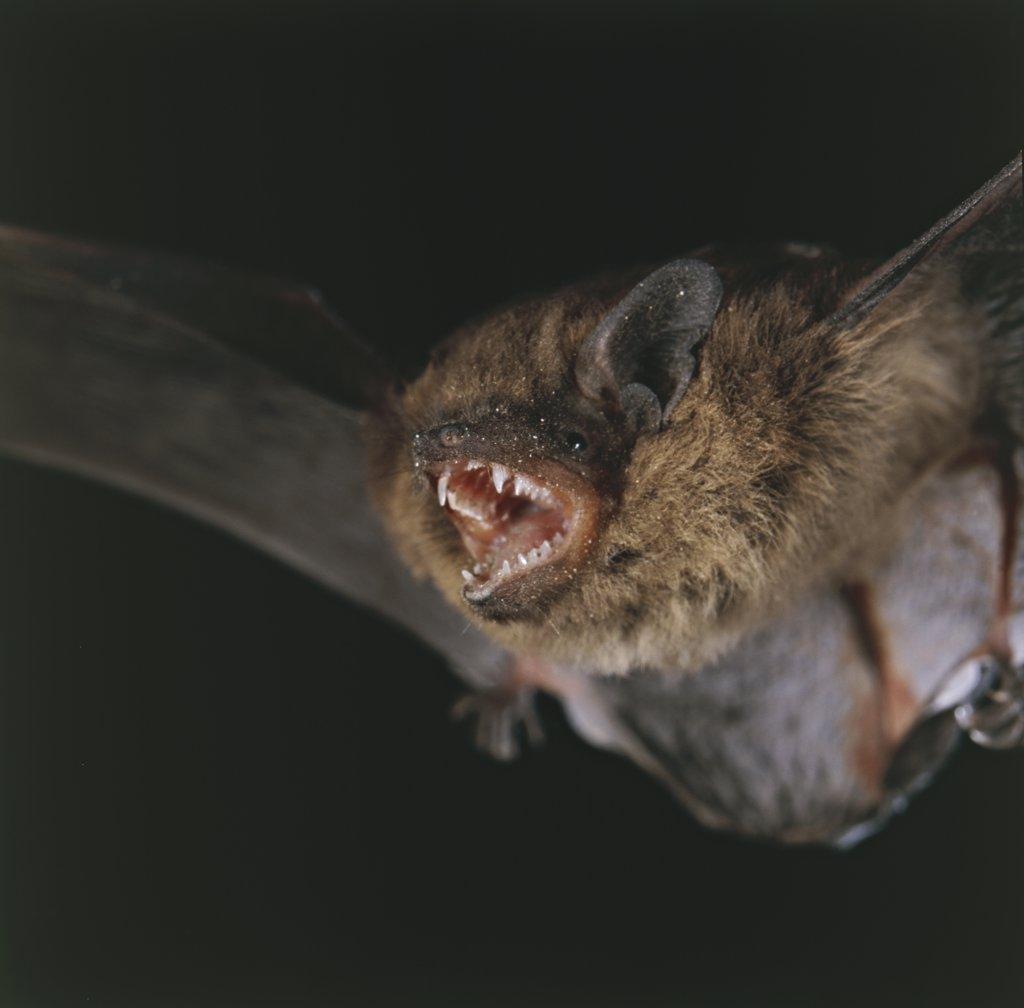 Pipistrellus pipistrellus : Stock Photo