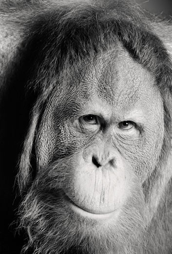 Stock Photo: 1606-76177 Orangutan