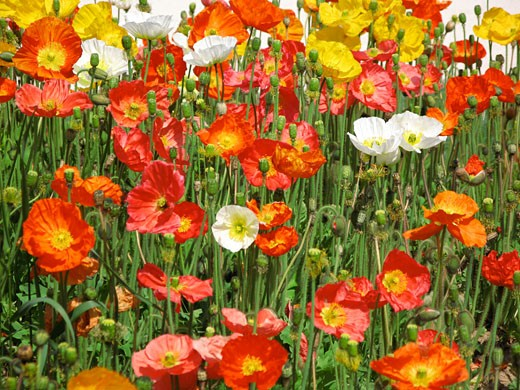 Close-up of poppies : Stock Photo