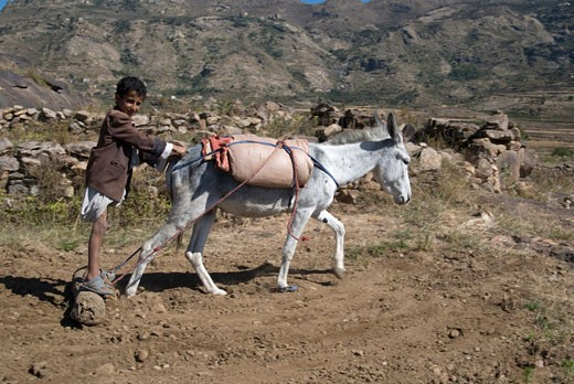 Yemen, djebel Harraz, boy and donkey plowing a field : Stock Photo