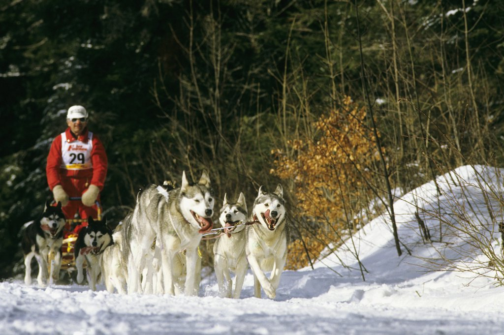 Sled dogs competition, man : Stock Photo