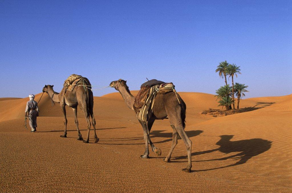 Algérie, Timimoun, Dromedary trek in Timinoun area : Stock Photo