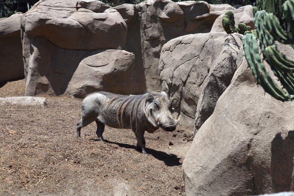 US, California, warthog in the zoo of San Diego : Stock Photo