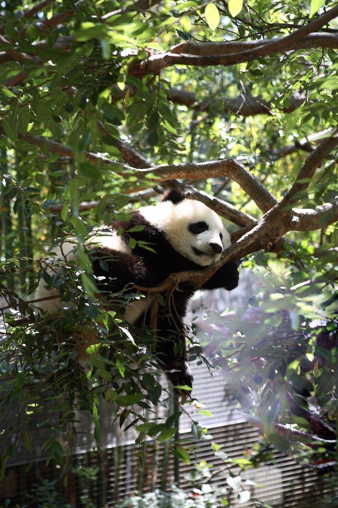 US, California, San Diego zoo, panda : Stock Photo