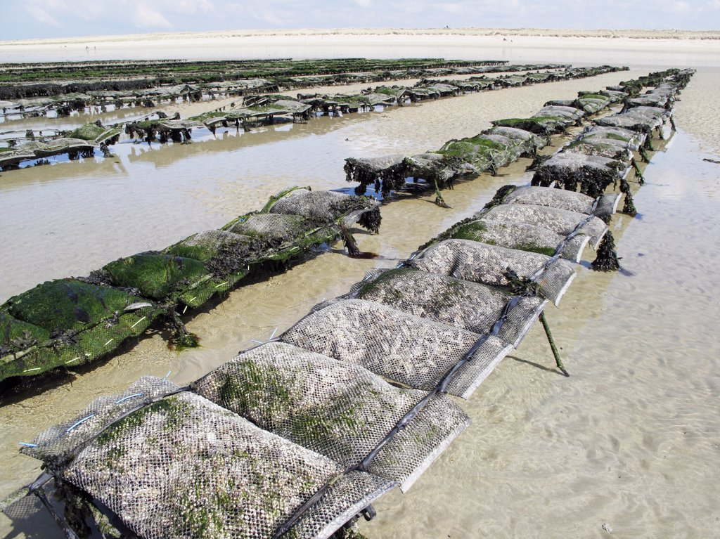 France, Normandy, oyster farming : Stock Photo