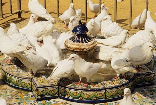 Stock Photo: 1606-9586 Spain, Andalousia, Sevilla, Maria Luisa park, pigeons