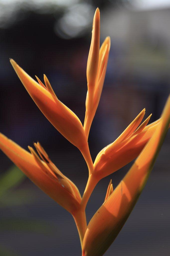 India, Tamil Nadu, Mamallapuram, Mahabalipuram, bird of paradise flower : Stock Photo