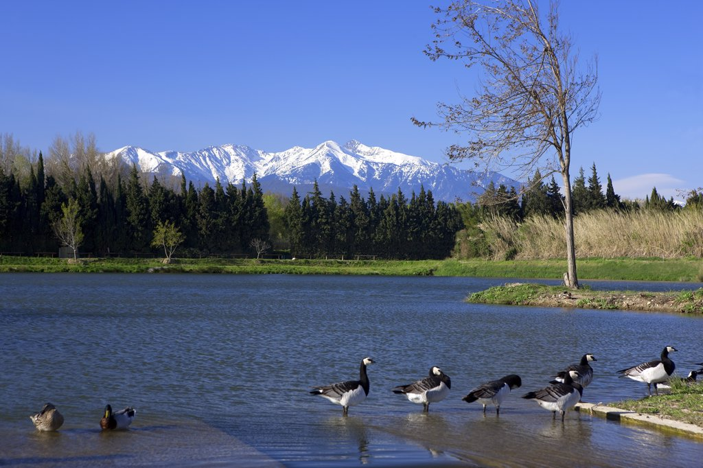 France, Roussillon, Pyrenes Orientales, Canigou mountain, Canada-geese and ducks in the foreground : Stock Photo