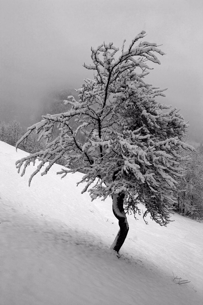 Stock Photo: 1606-98817 Snowed tree in landscape