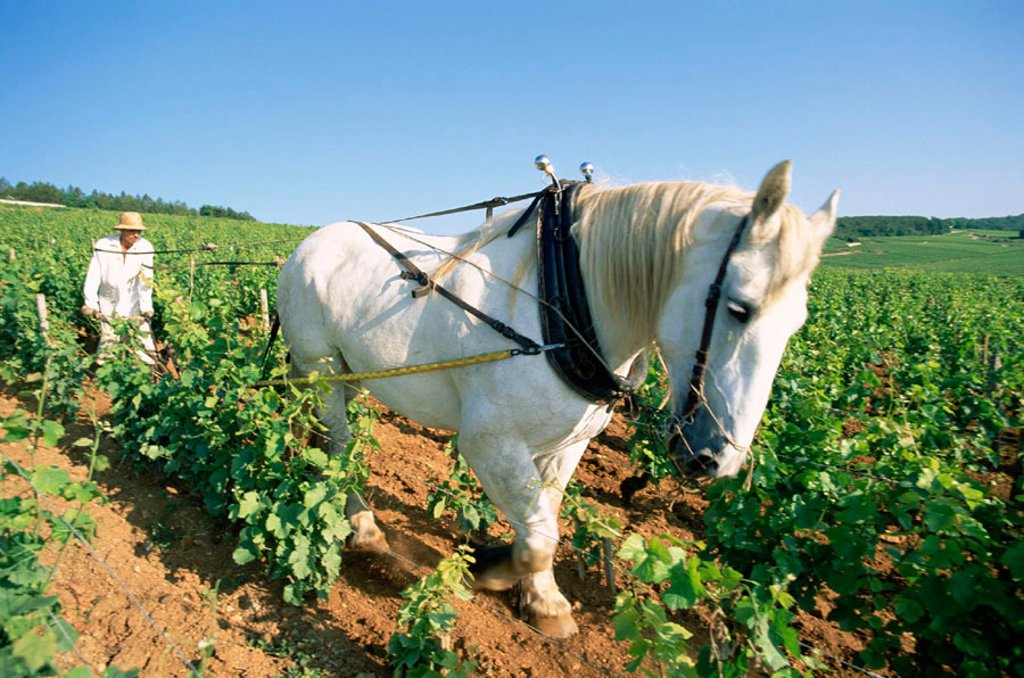 Stock Photo: 1609-16937 France, Burgundy, Nuits-St-Georges, Farmer and Horse Ploughing Vineyards