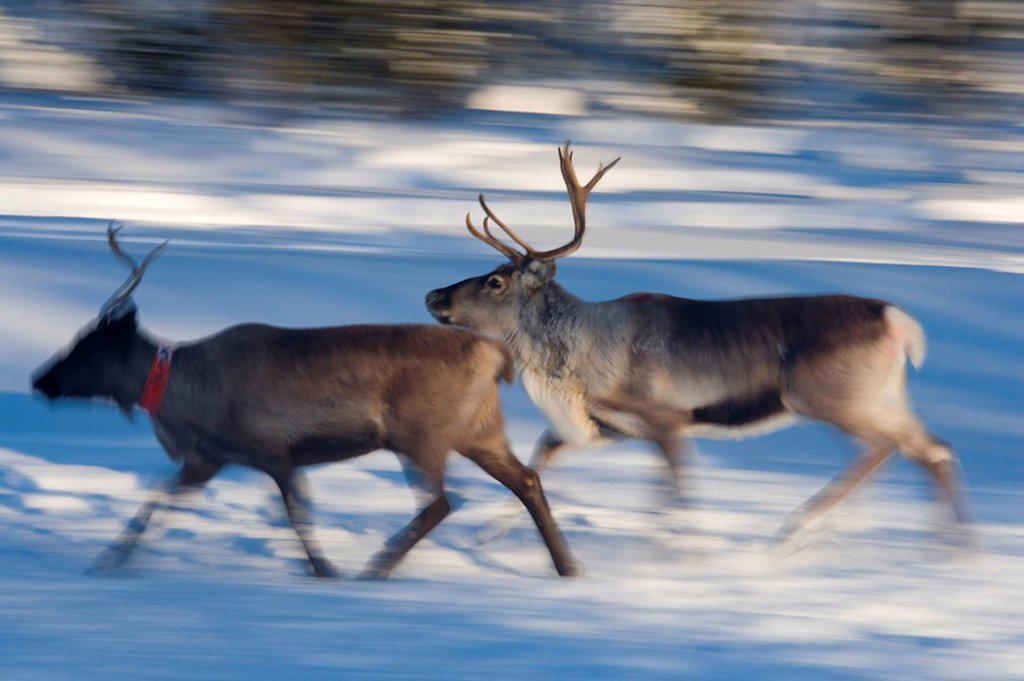 Reindeer, Jokkmokk, Norrbotten, Northen Sweden : Stock Photo