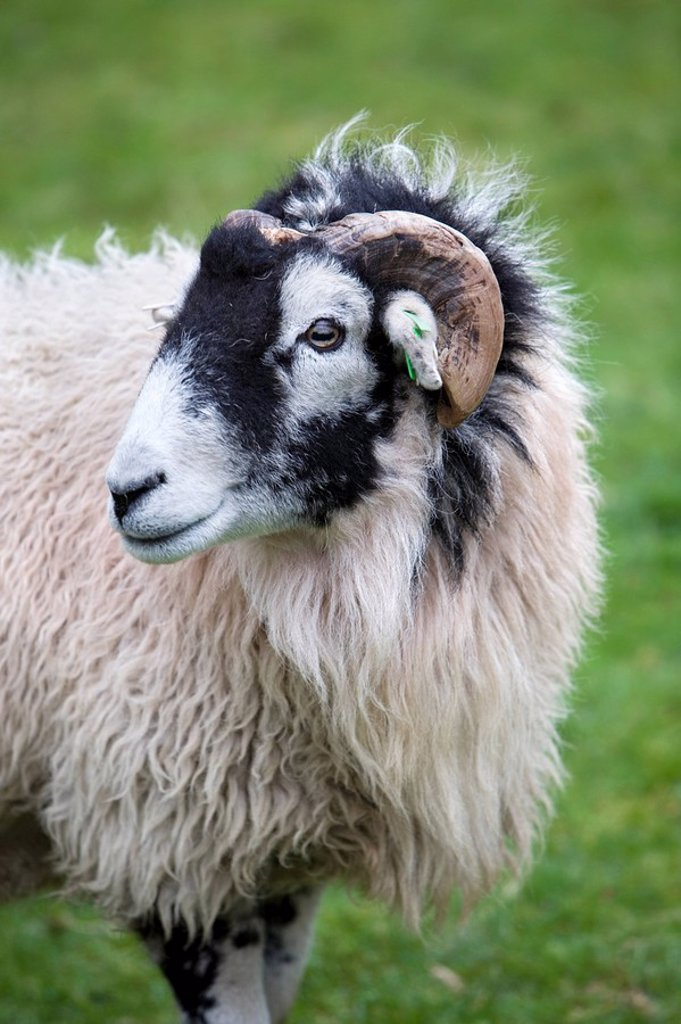 Herdwick Sheep & Cottage, Burrowdale, Lake District, Cumbria, England : Stock Photo