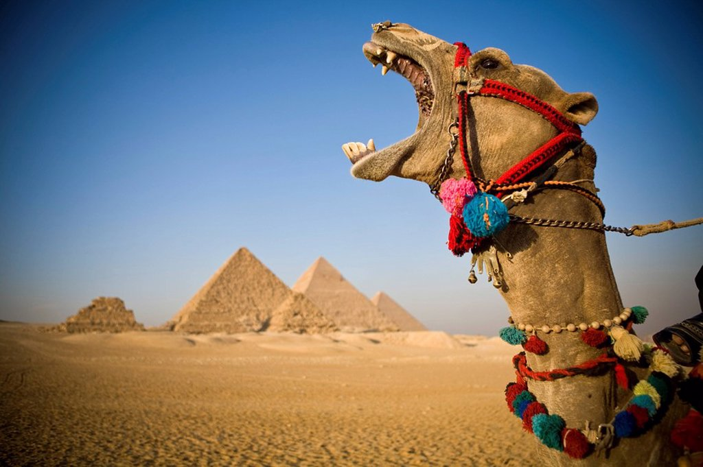 Stock Photo: 1609-24866 Camel at the Pyramids, Giza, Cairo, Egypt