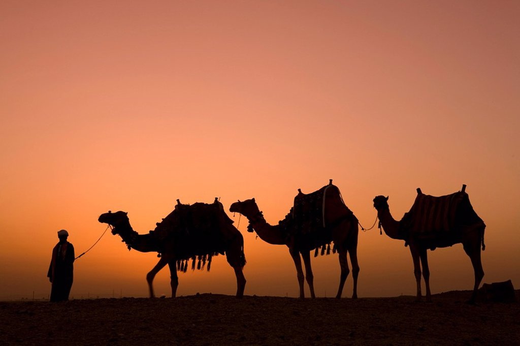 Camels near the Pyramids at Giza, Cairo, Egypt : Stock Photo