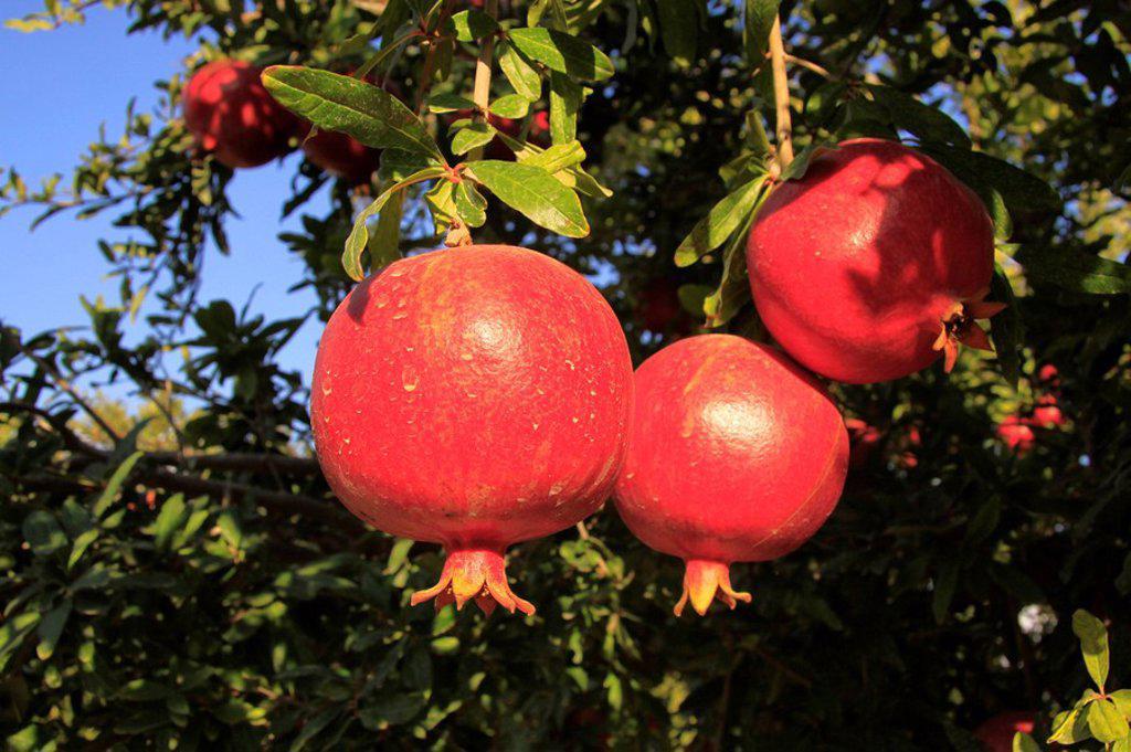 Israel, Shephelah, Pomegranate tree Punica granatum in Moshav Lachish : Stock Photo