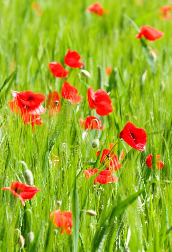 Poppies in Valle de Orcia, Tuscany, Italy : Stock Photo