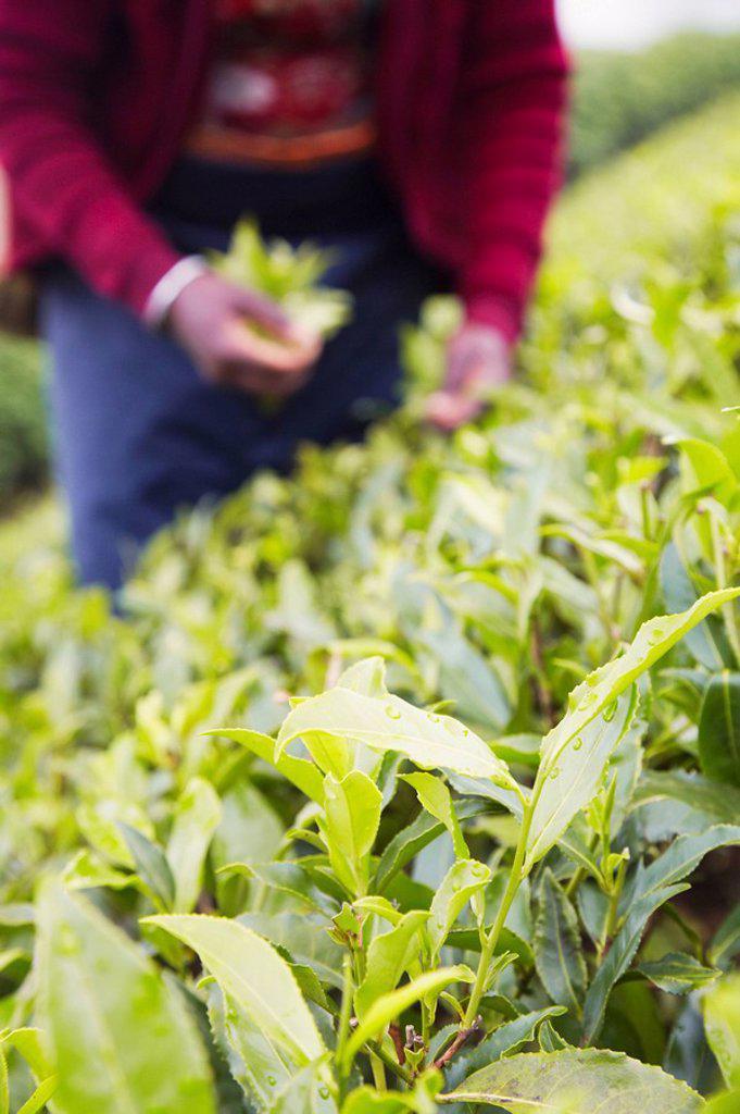 Stock Photo: 1609-40066 Woman picking tea leaves, Pedro Tea Estate, Nuwara Eliya, Sri Lanka