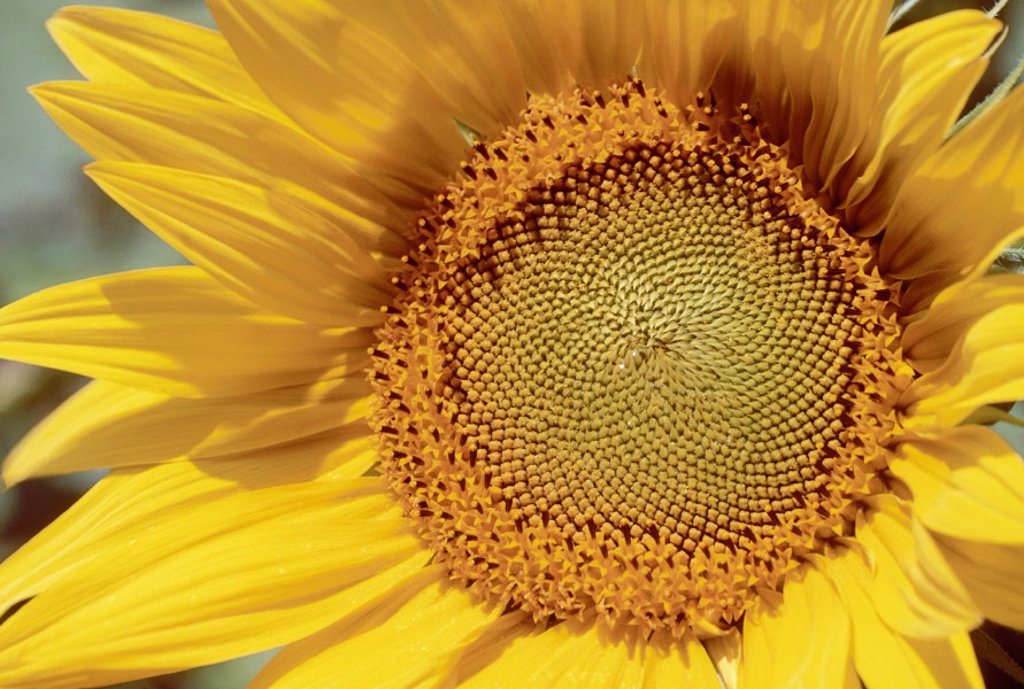 Sunflower Field Provence France : Stock Photo