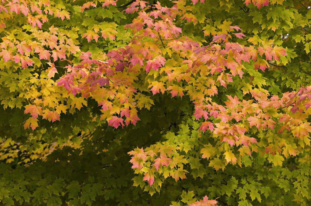 Stock Photo: 1609-45244 Autumn leaves, Mentor, Ohio, USA