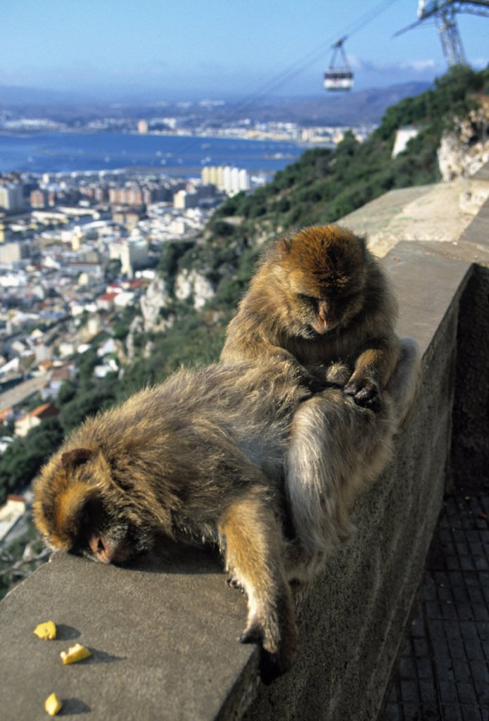 Stock Photo: 1609-4797 Monkeys, The Rock, Gibraltar