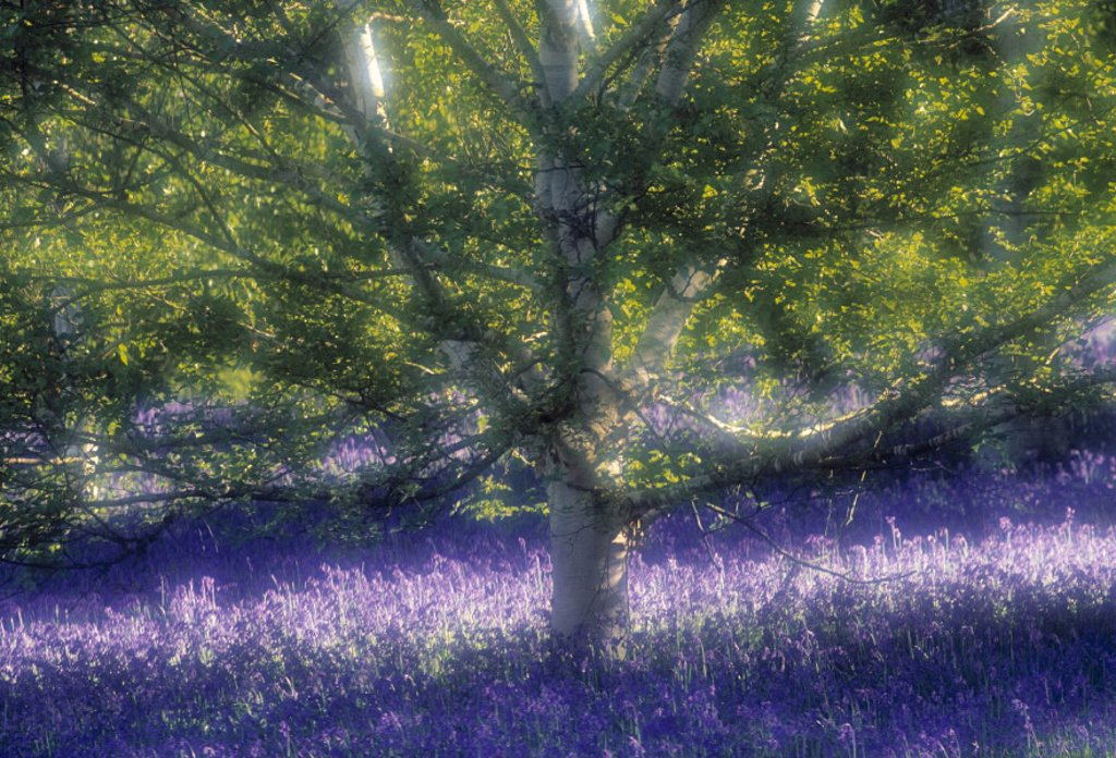 Stock Photo: 1609-8018 Bluebell and Silver Birch