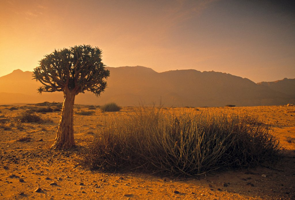 Stock Photo: 1609-8099 Quiver Tree, Namib desert, Namibia