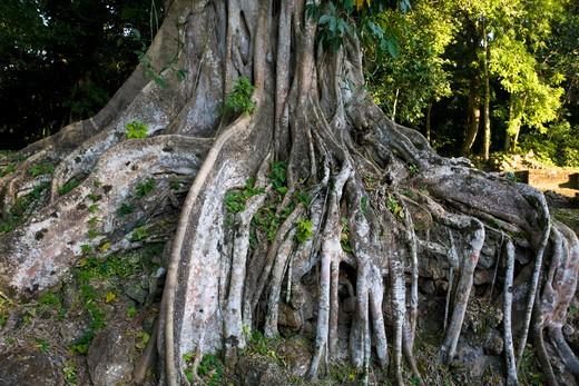 Stock Photo: 1609R-28356 Belize, Lamanai, Roots of tree