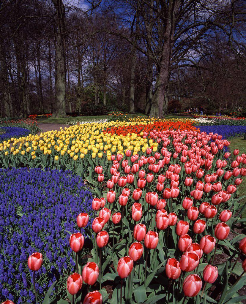 Stock Photo: 1609R-30762 Keukenhof Gardens, Lisse, Holland
