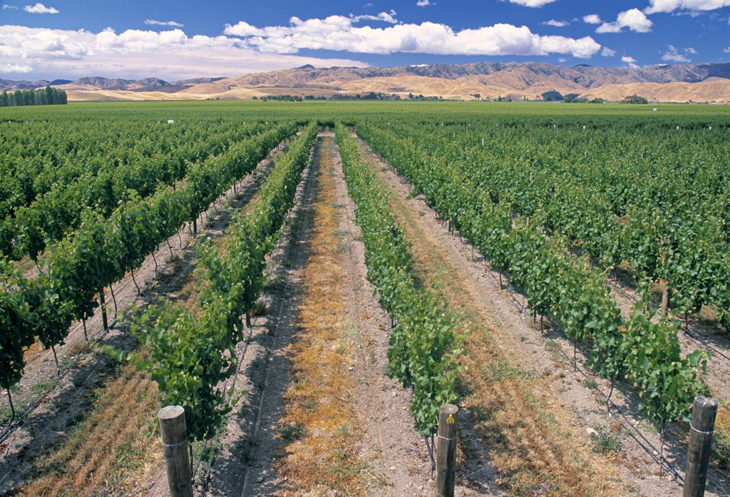 Vineyard, Blenheim, Marlborough, South Island, New Zealand : Stock Photo