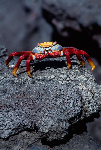 Stock Photo: 1610-109 High angle view of a Sally Lightfoot Crab on a rock, Galapagos Islands, Ecuador (Grapsus grapsus)