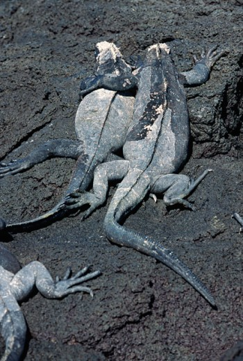 High angle view of three Marine Iguanas on a rock, Galapagos Islands, Ecuador (Amblyrhynchus cristatus) : Stock Photo