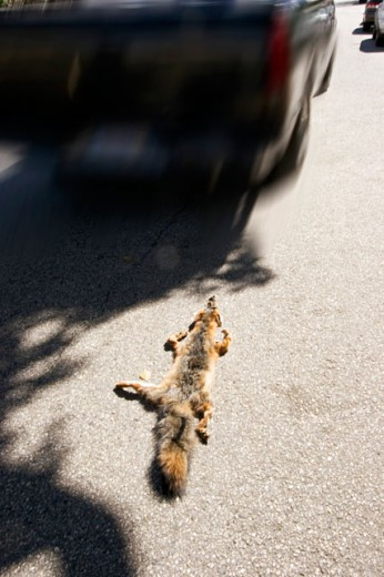 High angle view of a dead fox run over by a car : Stock Photo
