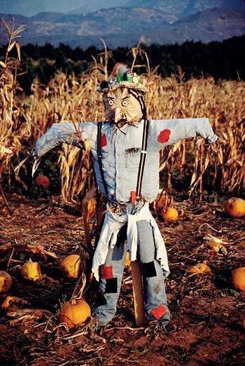 Scarecrow in a pumpkin field, Ojai, California, USA : Stock Photo