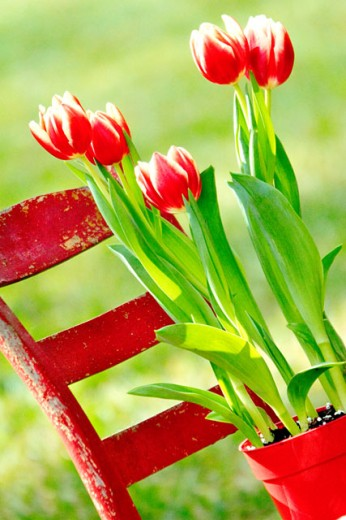 Close-up of tulips in a flower pot : Stock Photo
