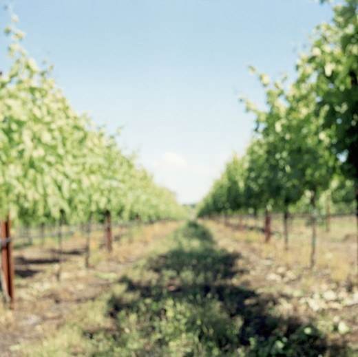 Path passing through a vineyard : Stock Photo