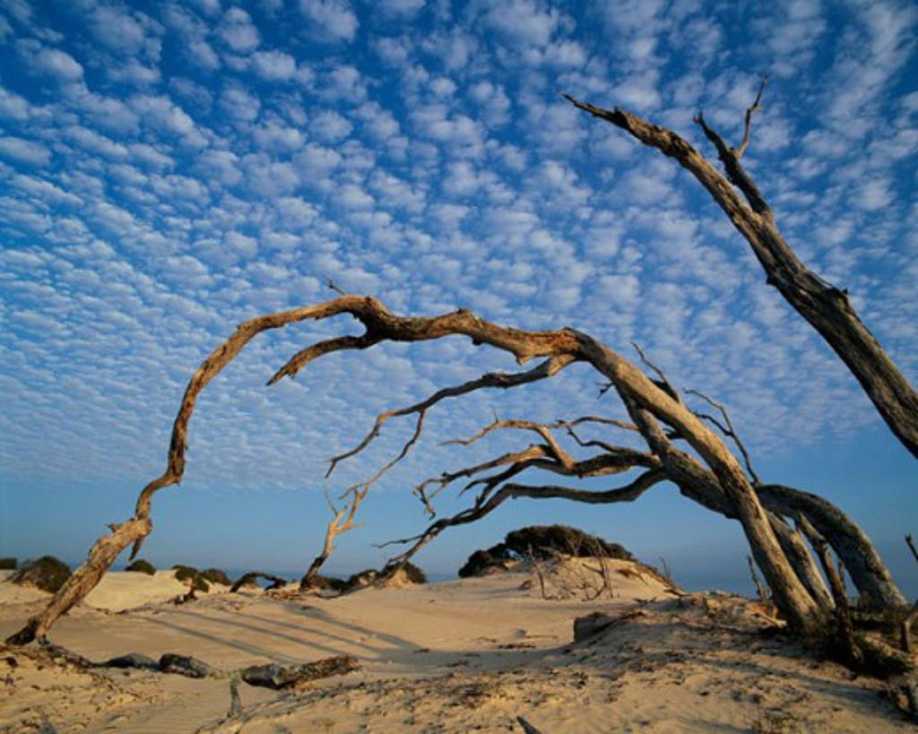 Stock Photo: 1622-106 Bare trees on sand, Cumberland Island National Seashore, Georgia, USA