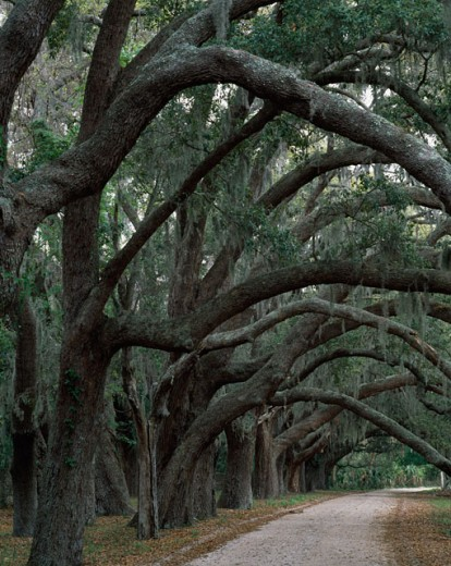 Tree branches leaning over a path, Cumberland Island National Seashore, Georgia, USA : Stock Photo