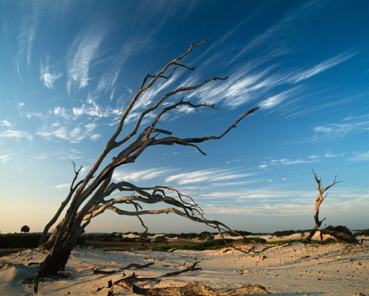 Bare trees on sand, Cumberland Island National Seashore, Georgia, USA : Stock Photo