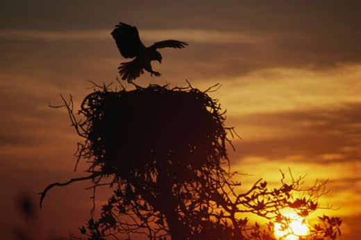 Silhouette of an osprey landing on its nest (Pandion haliaetus) : Stock Photo