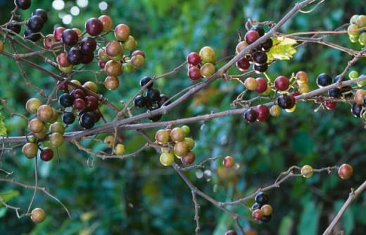 Muscadines on twigs (Vitis rotundifolia) : Stock Photo