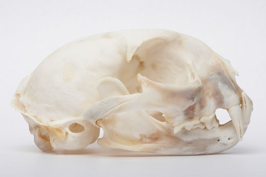 Side view of a Bobcat skull (Lynx rufus) : Stock Photo