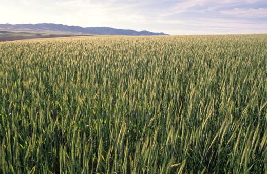 Huge Green Field : Stock Photo