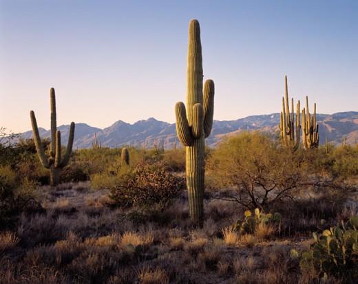 Stock Photo: 1626-2257 Cactuses at Saguaro National Park