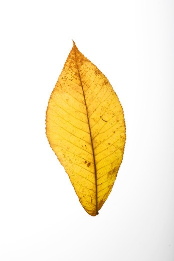 Yellow leaf on white background : Stock Photo